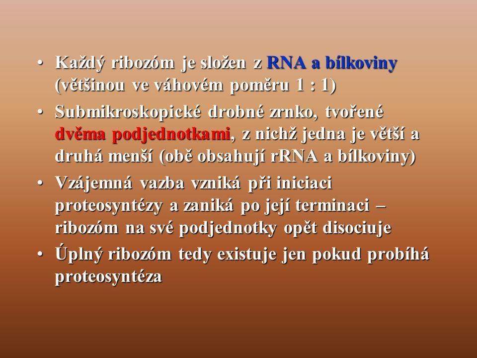 •Každý ribozóm je složen z RNA a bílkoviny (většinou ve váhovém poměru 1 : 1) •Submikroskopické drobné zrnko, tvořené dvěma podjednotkami, z nichž jedna je větší a druhá menší (obě obsahují rRNA a bílkoviny) •Vzájemná vazba vzniká při iniciaci proteosyntézy a zaniká po její terminaci – ribozóm na své podjednotky opět disociuje •Úplný ribozóm tedy existuje jen pokud probíhá proteosyntéza