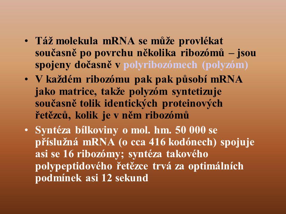 •Táž molekula mRNA se může provlékat současně po povrchu několika ribozómů – jsou spojeny dočasně v polyribozómech (polyzóm) •V každém ribozómu pak pak působí mRNA jako matrice, takže polyzóm syntetizuje současně tolik identických proteinových řetězců, kolik je v něm ribozómů •Syntéza bílkoviny o mol.