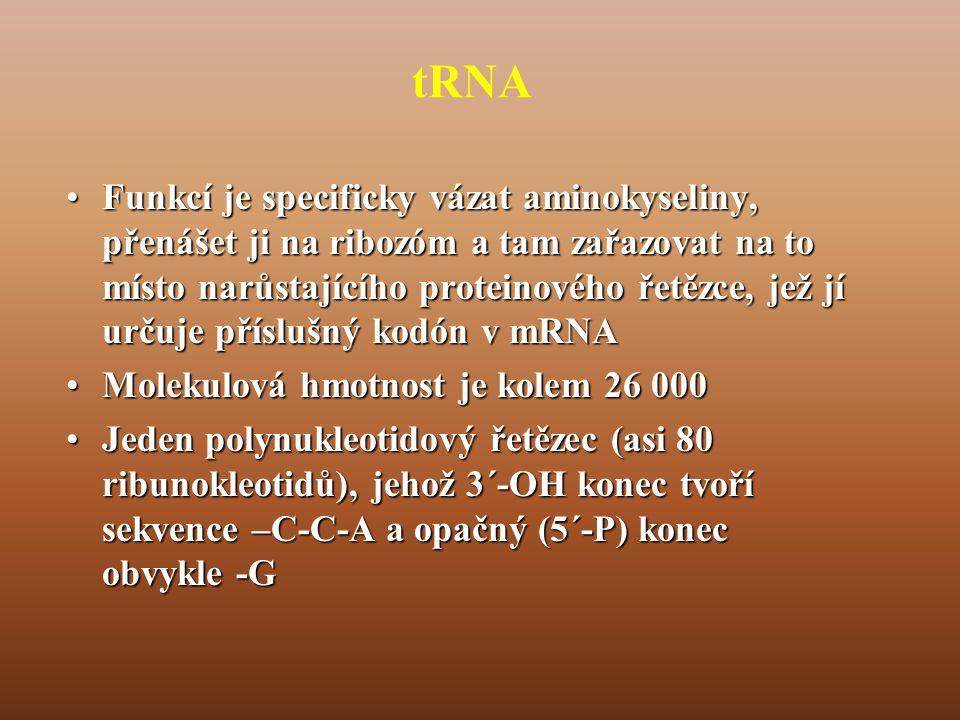 tRNA •Funkcí je specificky vázat aminokyseliny, přenášet ji na ribozóm a tam zařazovat na to místo narůstajícího proteinového řetězce, jež jí určuje příslušný kodón v mRNA •Molekulová hmotnost je kolem 26 000 •Jeden polynukleotidový řetězec (asi 80 ribunokleotidů), jehož 3´-OH konec tvoří sekvence –C-C-A a opačný (5´-P) konec obvykle -G