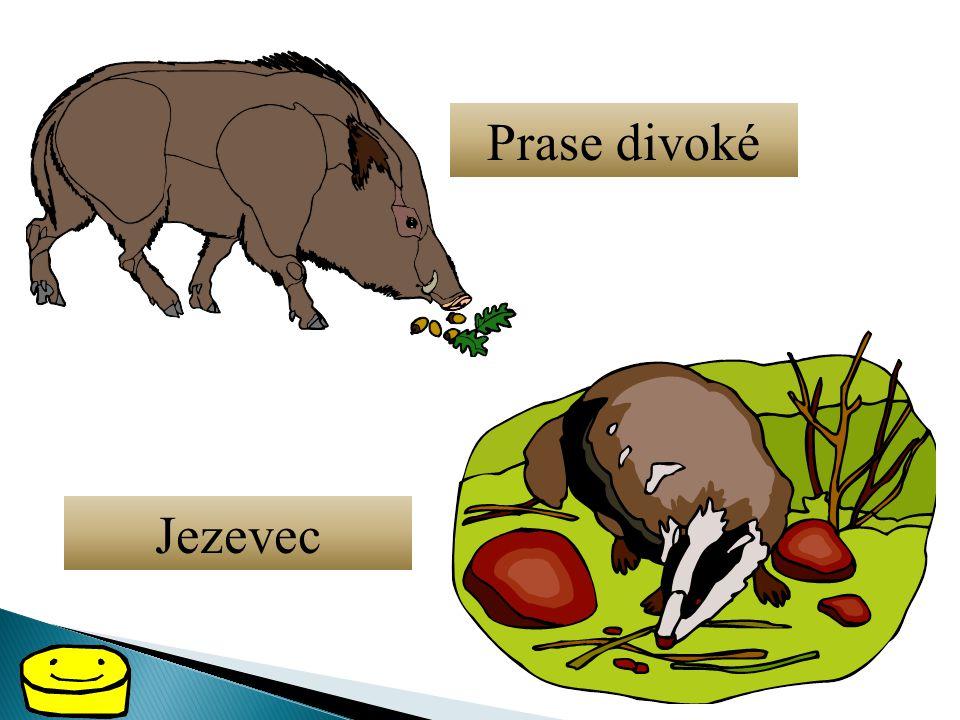 Prase divoké Jezevec