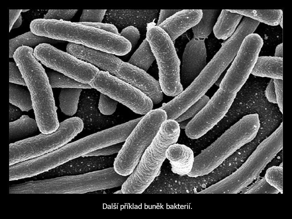 Další příklad buněk bakterií.