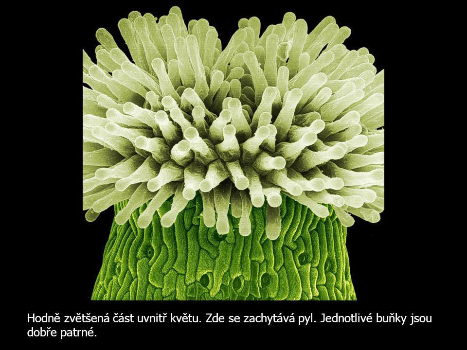 Hodně zvětšená část uvnitř květu. Zde se zachytává pyl. Jednotlivé buňky jsou dobře patrné.