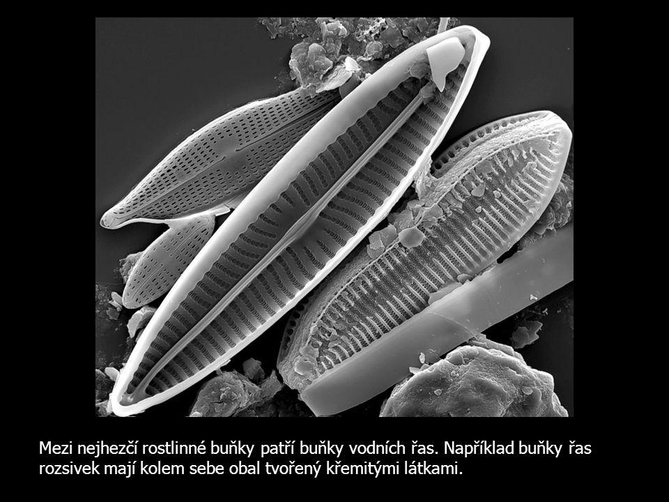 Mezi nejhezčí rostlinné buňky patří buňky vodních řas. Například buňky řas rozsivek mají kolem sebe obal tvořený křemitými látkami.