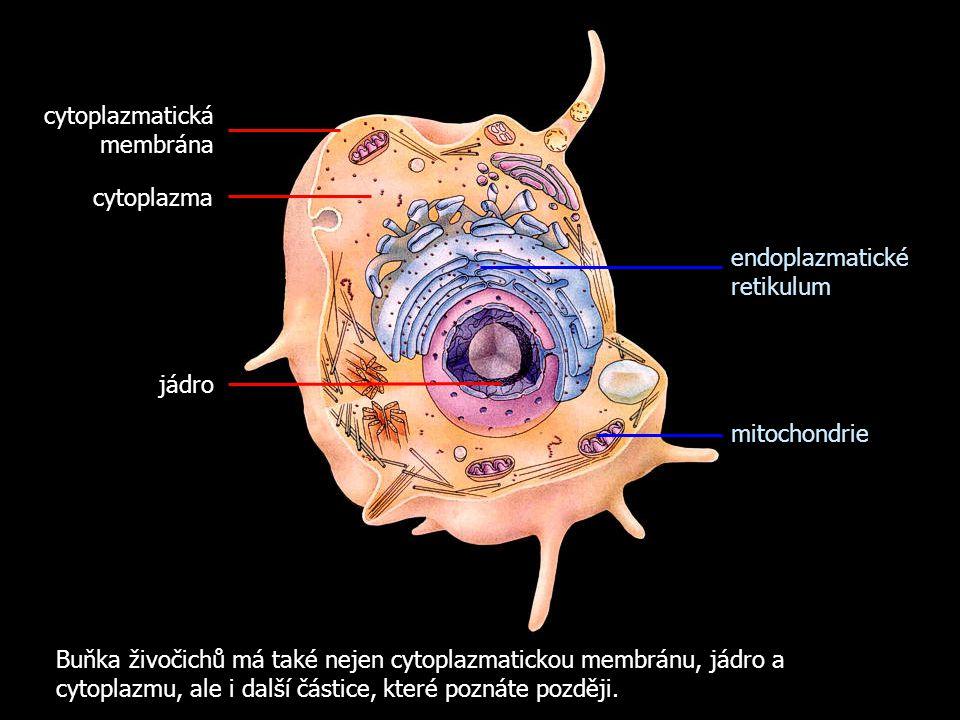 Buňka živočichů má také nejen cytoplazmatickou membránu, jádro a cytoplazmu, ale i další částice, které poznáte později. cytoplazmatická membrána jádr