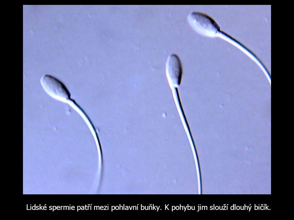 Lidské spermie patří mezi pohlavní buňky. K pohybu jim slouží dlouhý bičík.