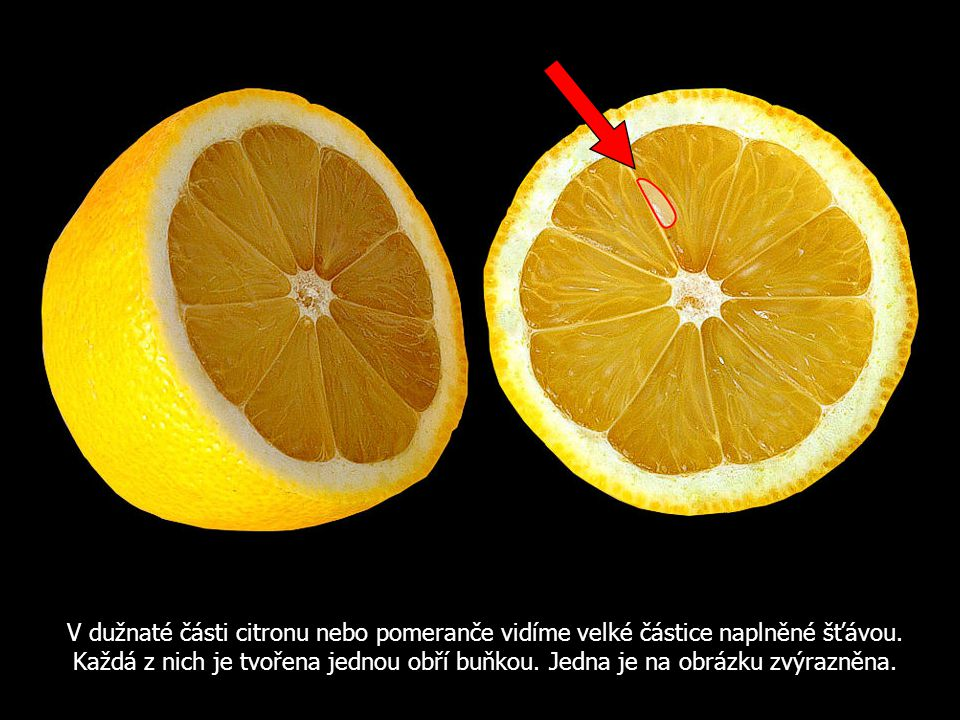 V dužnaté části citronu nebo pomeranče vidíme velké částice naplněné šťávou. Každá z nich je tvořena jednou obří buňkou. Jedna je na obrázku zvýrazněn