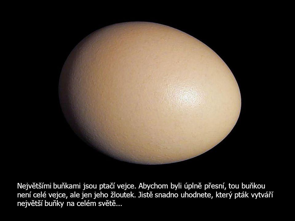 Největšími buňkami jsou ptačí vejce. Abychom byli úplně přesní, tou buňkou není celé vejce, ale jen jeho žloutek. Jistě snadno uhodnete, který pták vy