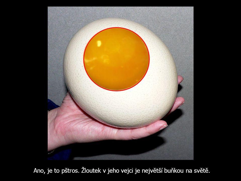 Ano, je to pštros. Žloutek v jeho vejci je největší buňkou na světě.