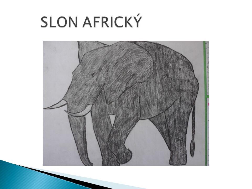  Je stejná jako u slonů afrických.
