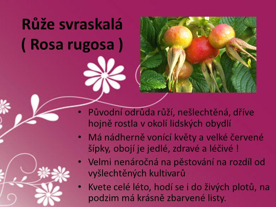 Růže svraskalá ( Rosa rugosa ) • Původní odrůda růží, nešlechtěná, dříve hojně rostla v okolí lidských obydlí • Má nádherně vonící květy a velké červe