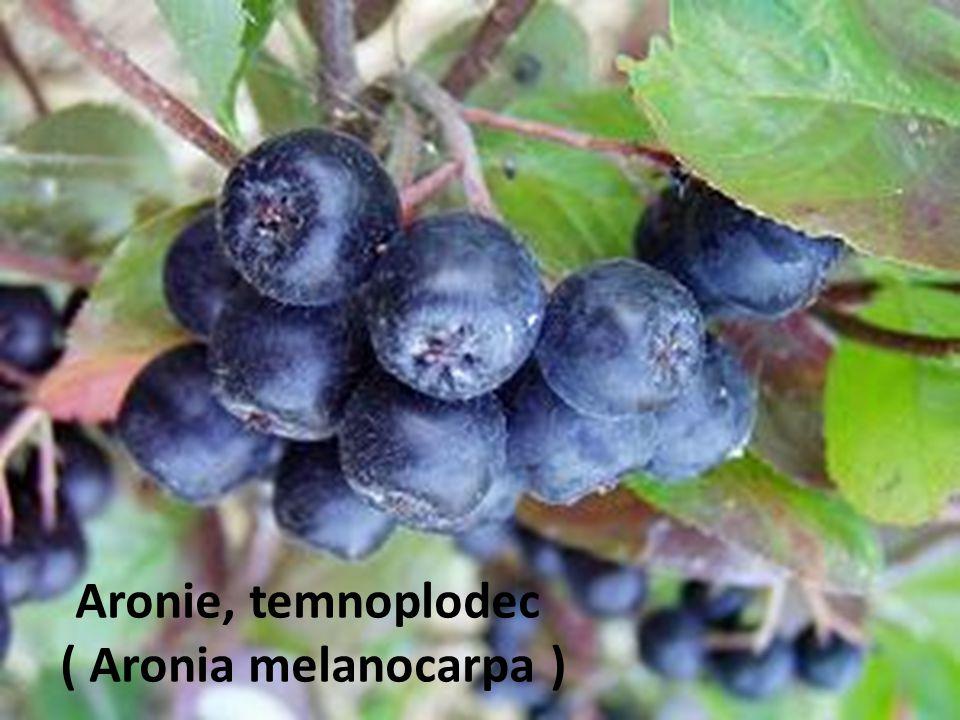 Aronie, temnoplodec ( Aronia melanocarpa )