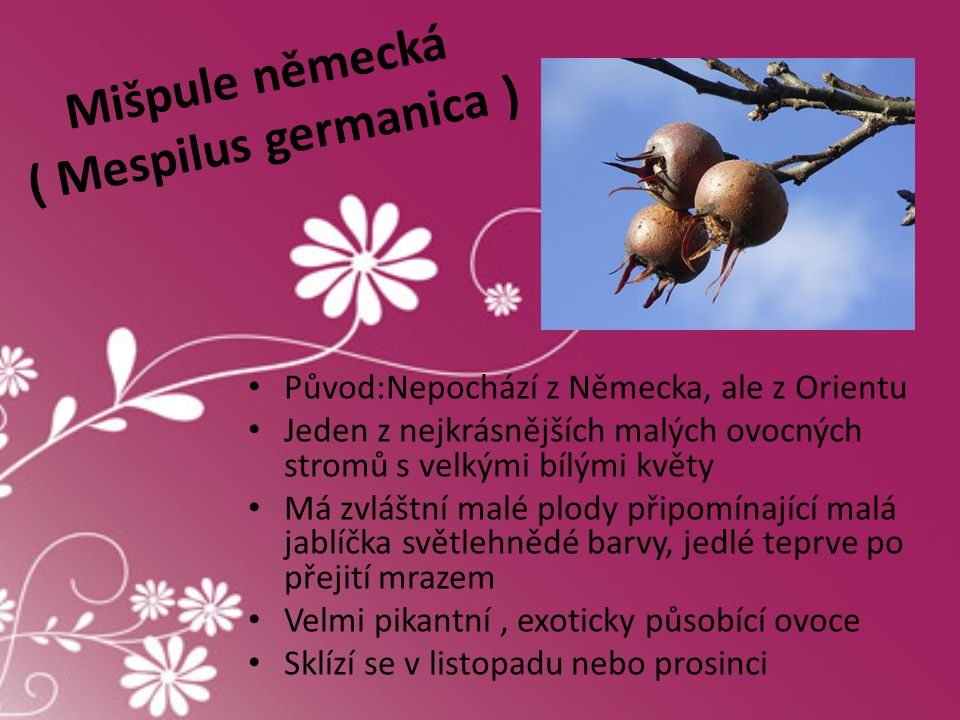 Mišpule německá ( Mespilus germanica ) • Původ:Nepochází z Německa, ale z Orientu • Jeden z nejkrásnějších malých ovocných stromů s velkými bílými kvě