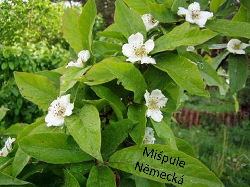 """Kdouloň obecná ( Cydonia oblonga ) • Menší ovocný strom pěstovaný v Evropě od středověku především v klášterních a zámeckých zahradách • Zdomácněla po celém světě s výjimkou Austrálie • Má velké růžové nebo bílé květy • Plody jsou podobné hruškám, mají ale tuhou aromatickou dužninu • Portugalsky se nazývá """"marmelo odtud název marmeláda • Obsahuje hodně pektinu a léčivé látky"""