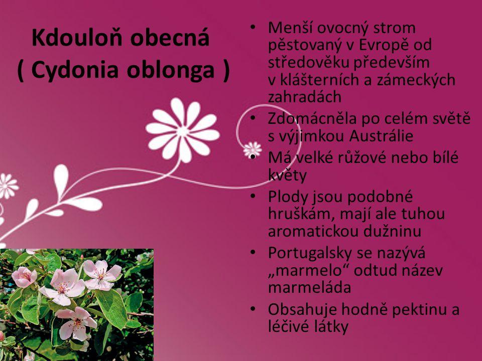 Kdouloň obecná ( Cydonia oblonga ) • Menší ovocný strom pěstovaný v Evropě od středověku především v klášterních a zámeckých zahradách • Zdomácněla po