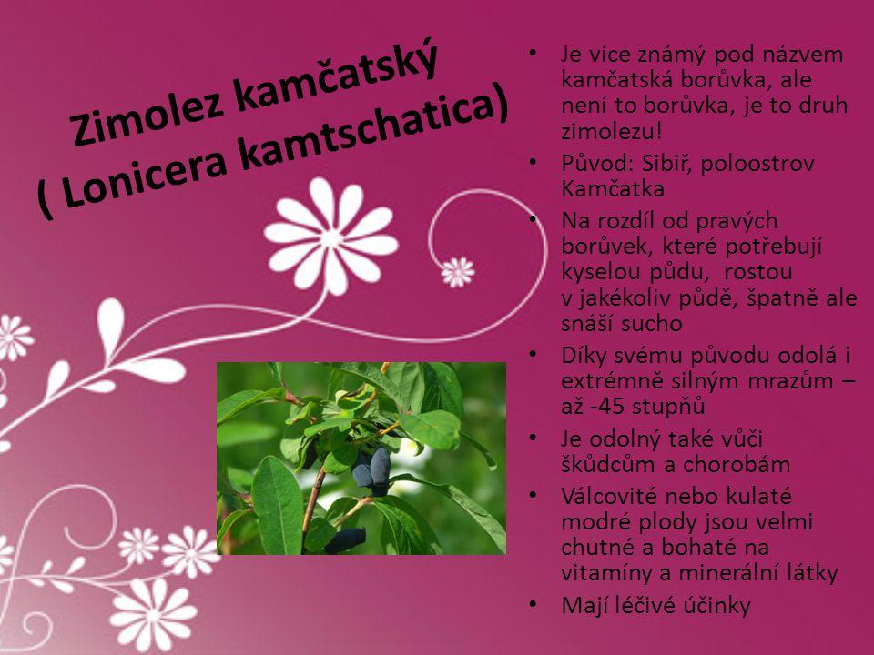 Zimolez kamčatský ( Lonicera kamtschatica) • Je více známý pod názvem kamčatská borůvka, ale není to borůvka, je to druh zimolezu! • Původ: Sibiř, pol