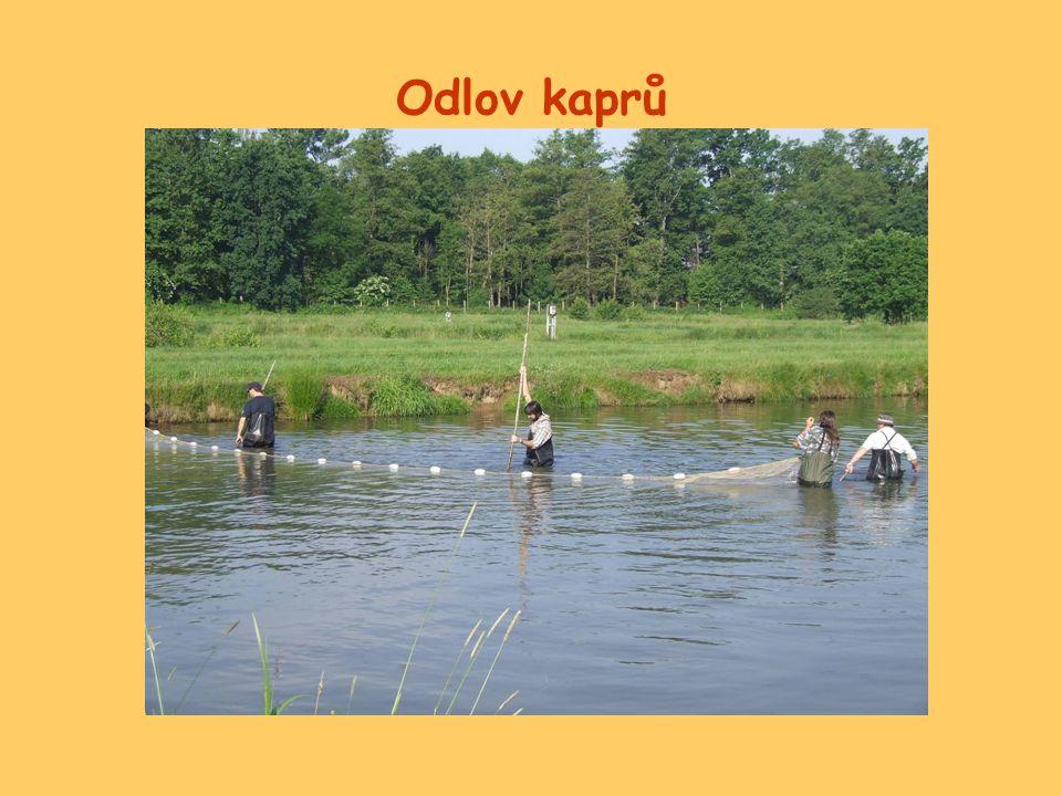 Laboratorní sledování odlovené ryby zváženy a po 2 ks rozděleny do akvárií s objemem vody 100 l, (od každé skupiny 2 opakování)