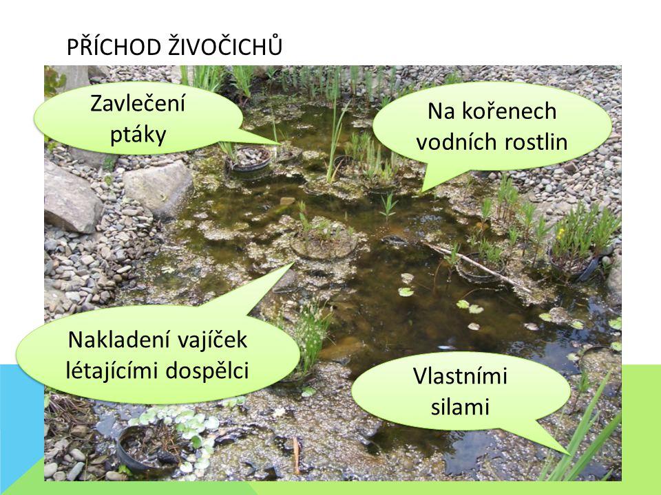 PŘÍCHOD ŽIVOČICHŮ Na kořenech vodních rostlin Zavlečení ptáky Vlastními silami Nakladení vajíček létajícími dospělci