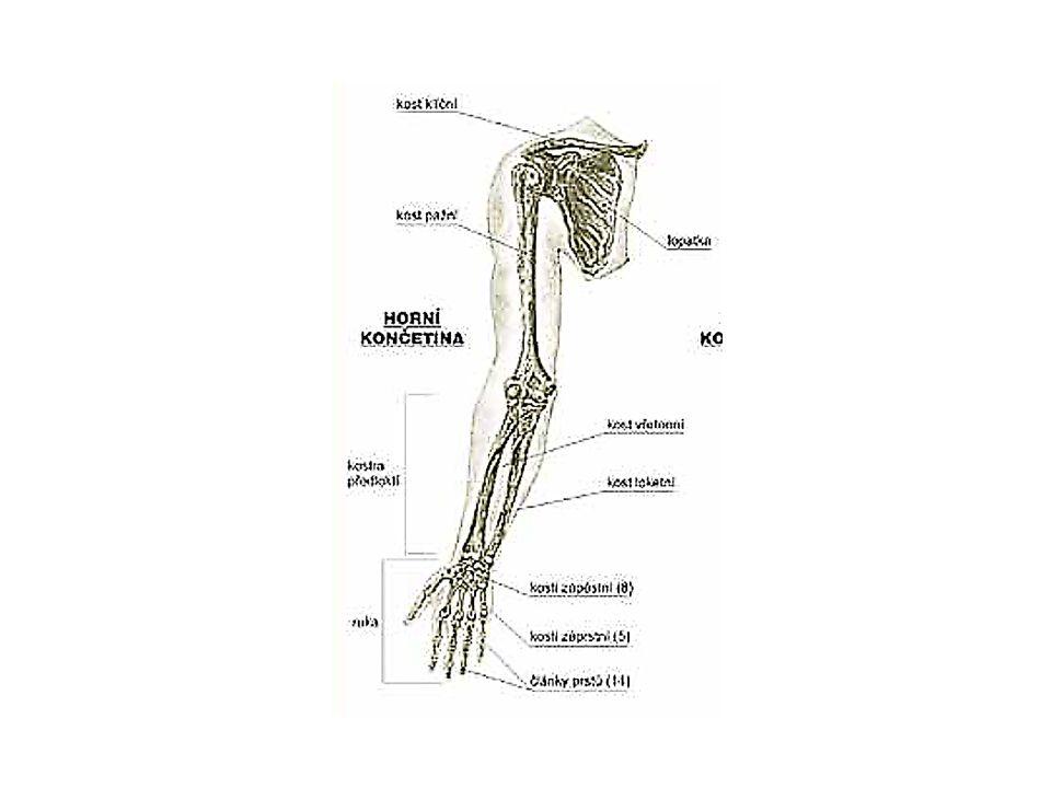 Pletenec horní končetiny (cingulum membri superioris)  připojuje končetinu k trupu  je tvořen dvěma kostmi: klíční kostí a lopatkou  klíční kost (os claviculla) –esovitě prohnutá kost o délce asi 12 – 16 cm, která je 1.