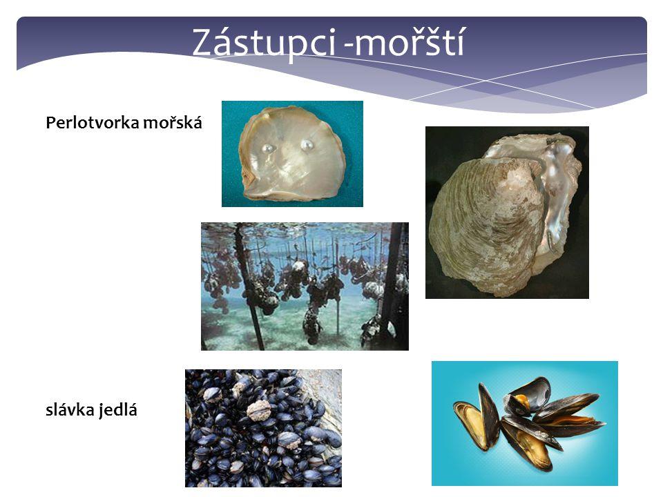 Hřebenatka Jakubská Ústřice jedlá srdcovka jedlá http://www.youtube.com/watch?v=qBuzYj91nIo