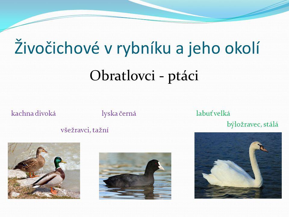 Živočichové v rybníku a jeho okolí hryzec vodní - býložravecondatra pižmová - všežravec Obratlovci - savci