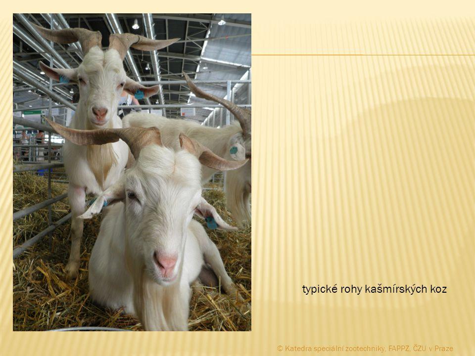 typické rohy kašmírských koz © Katedra speciální zootechniky, FAPPZ, ČZU v Praze