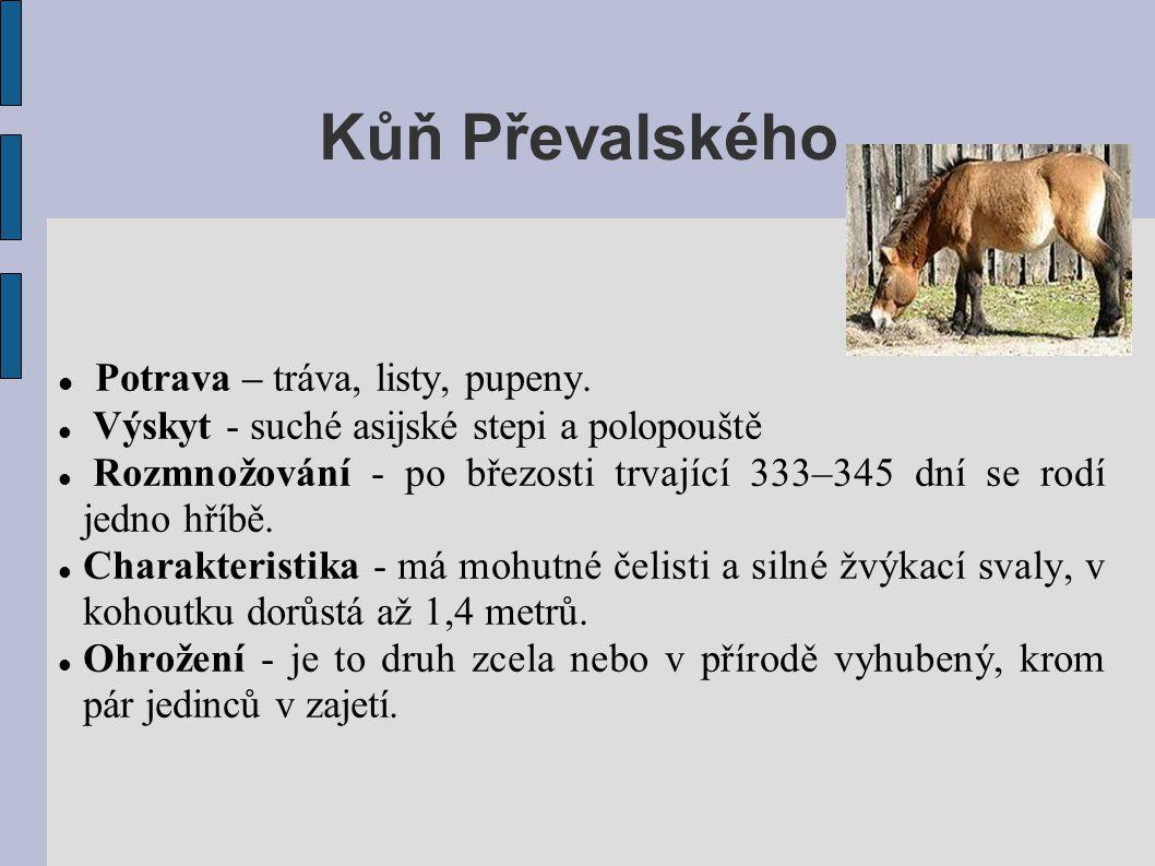 Kůň Převalského  Potrava – tráva, listy, pupeny.