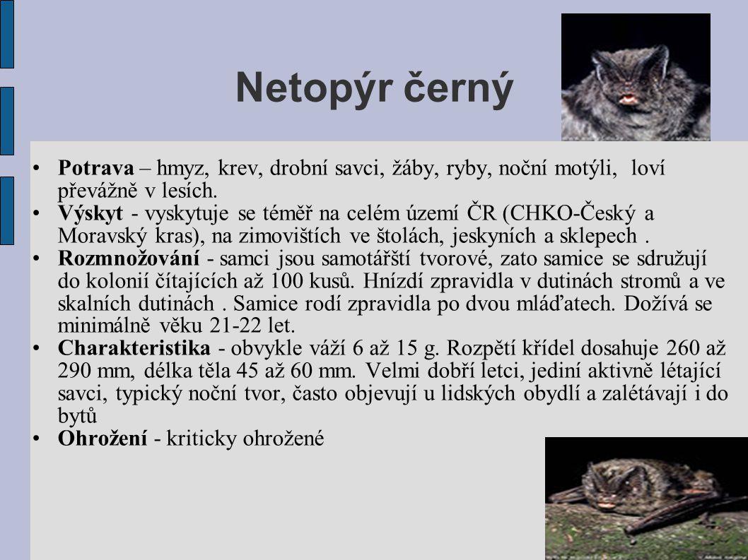 Netopýr černý •Potrava – hmyz, krev, drobní savci, žáby, ryby, noční motýli, loví převážně v lesích.