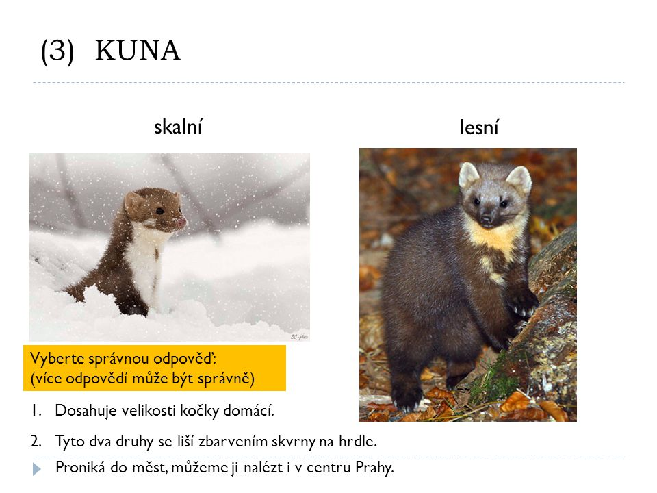 (3) KUNA skalní lesní Vyberte správnou odpověď: (více odpovědí může být správně) 2.Tyto dva druhy se liší zbarvením skvrny na hrdle.