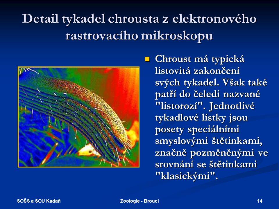 SOŠS a SOU Kadaň 13Zoologie - Brouci Býložraví (všežraví)  Chroust obecný - larva (ponrava) se vyvíjí 3-5 let v půdě, kde ožírá kořínky, dospělci oží