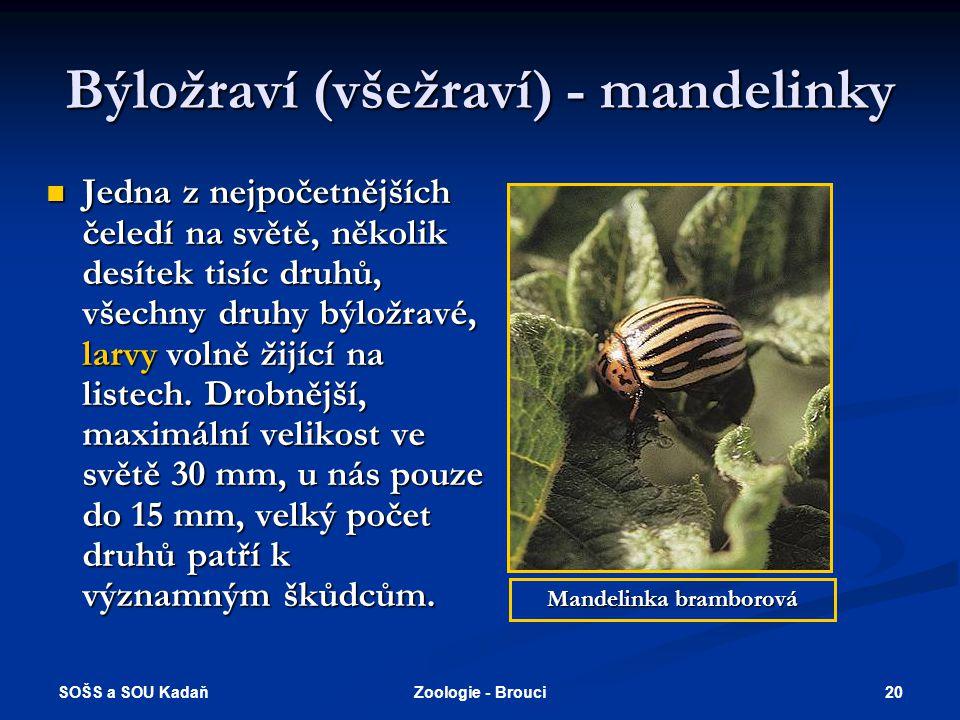 SOŠS a SOU Kadaň 19Zoologie - Brouci Býložraví (všežraví) 1.Tesařík obrovský - vyvíjí se v starších dubech, v některých případech i příčinou úhynu str