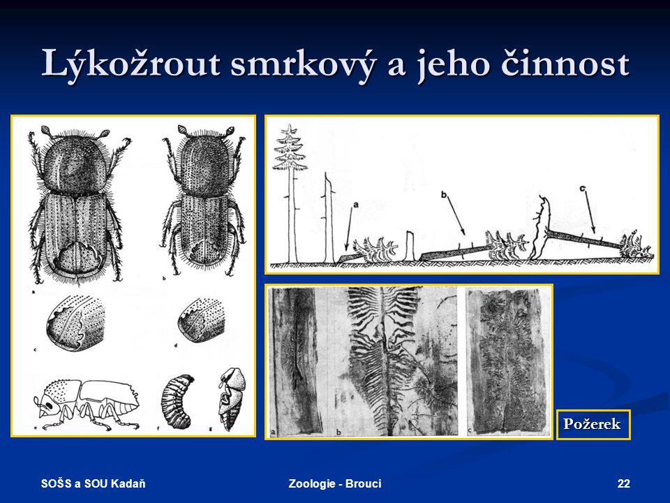 SOŠS a SOU Kadaň 21Zoologie - Brouci Býložraví (všežraví) - kůrovci  Lýkožrout smrkový - vyvíjí se ve smrku a jedli, významný kalamitní škůdce, samic