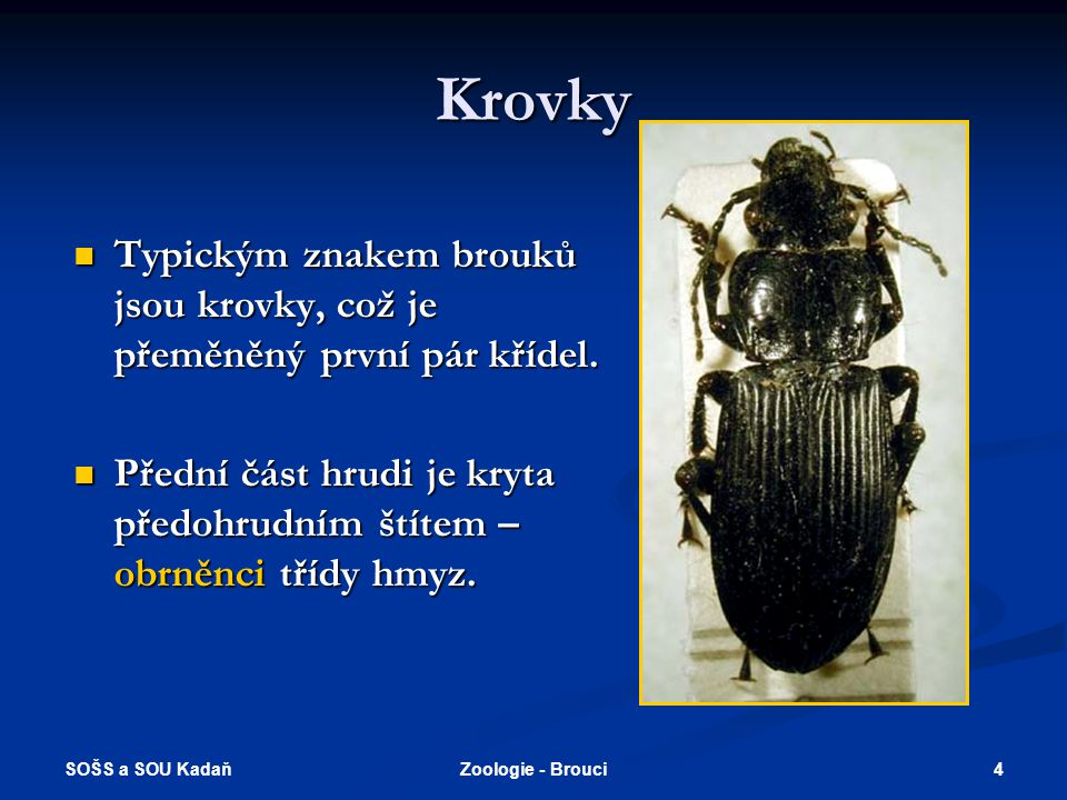 SOŠS a SOU Kadaň 4Zoologie - Brouci Krovky  Typickým znakem brouků jsou krovky, což je přeměněný první pár křídel.