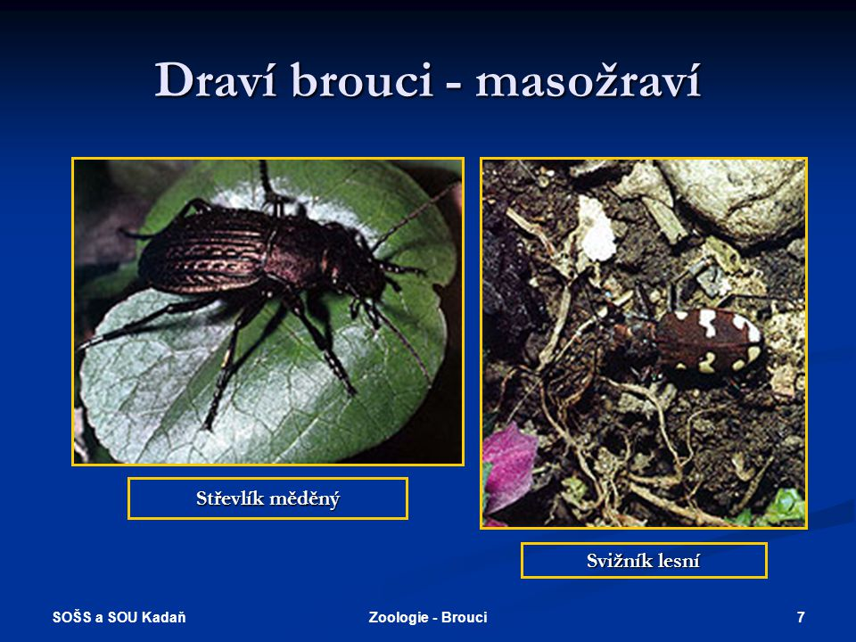 SOŠS a SOU Kadaň 6Zoologie - Brouci Titanus giganteus = tesařík největší  Jeho rozměry jsou úctyhodné. Největší známý exemplář je uložen v Britském m