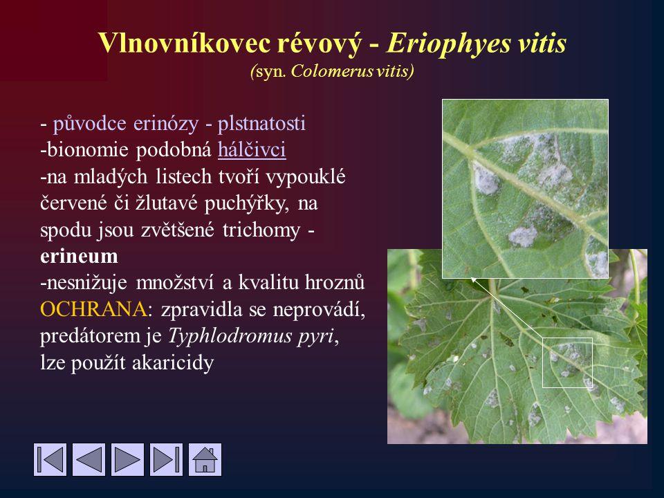 Vlnovníkovec révový - Eriophyes vitis (syn. Colomerus vitis) - původce erinózy - plstnatosti -bionomie podobná hálčivcihálčivci -na mladých listech tv