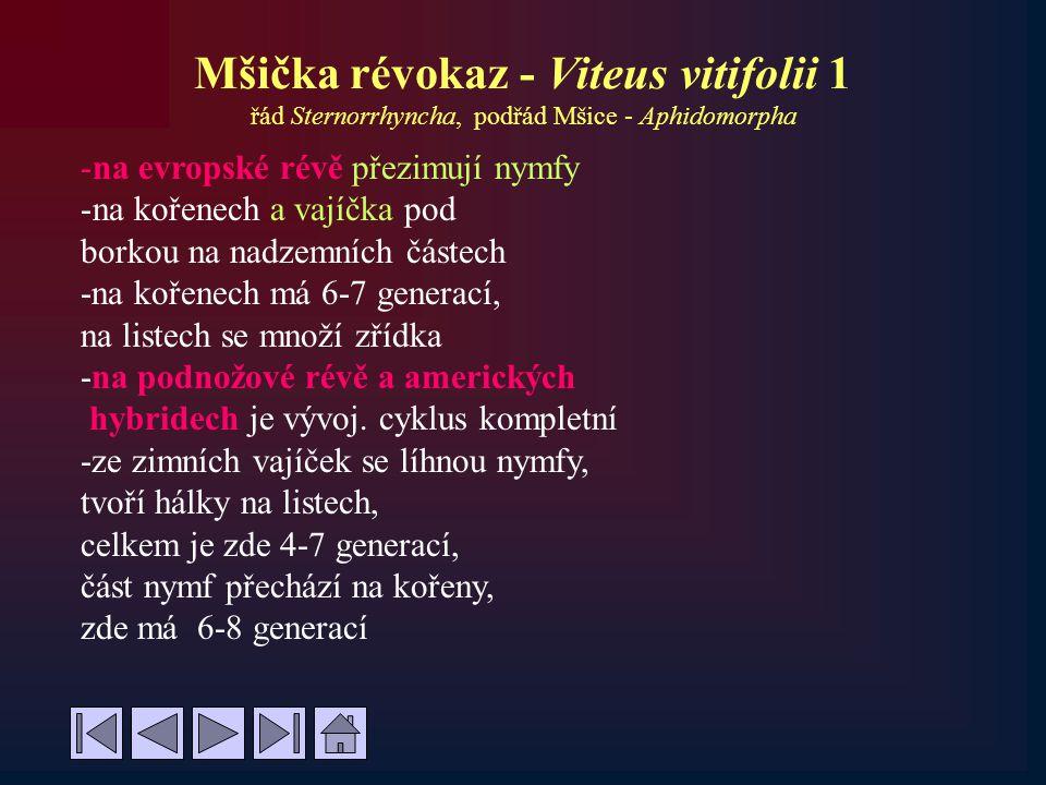 Mšička révokaz - Viteus vitifolii 1 řád Sternorrhyncha, podřád Mšice - Aphidomorpha -na evropské révě přezimují nymfy -na kořenech a vajíčka pod borko