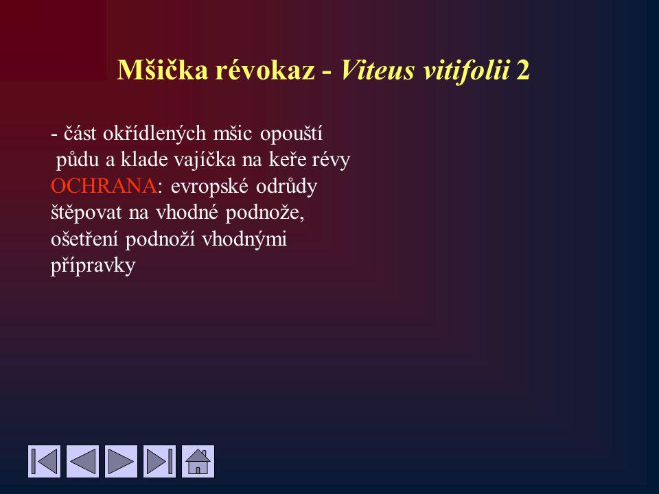 Mšička révokaz - Viteus vitifolii 2 - část okřídlených mšic opouští půdu a klade vajíčka na keře révy OCHRANA: evropské odrůdy štěpovat na vhodné podn