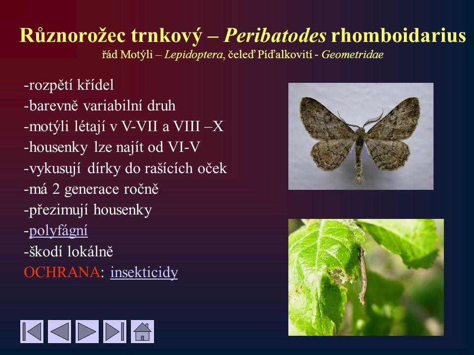 Různorožec trnkový – Peribatodes rhomboidarius řád Motýli – Lepidoptera, čeleď Píďalkovití - Geometridae -rozpětí křídel -barevně variabilní druh -mot