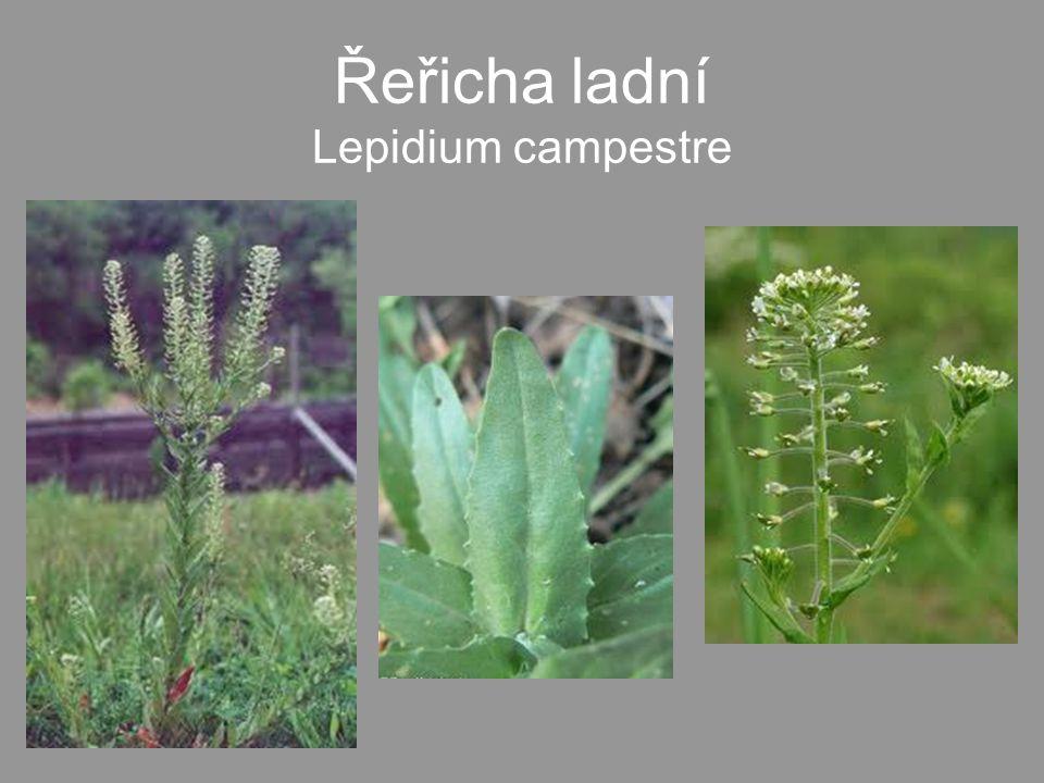 Řeřicha ladní Lepidium campestre