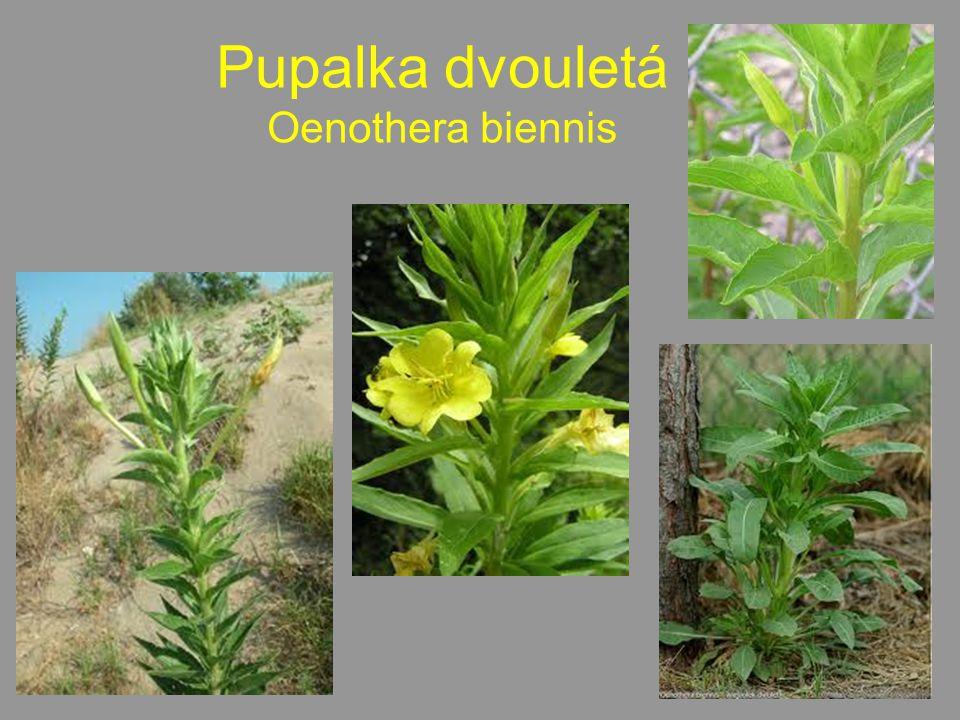 Pupalka dvouletá Oenothera biennis