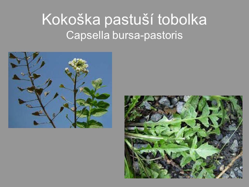•Mladé listy a výhonky - na jaře syrové i vařené.•Lusky - syrové, vařené i nakládané.