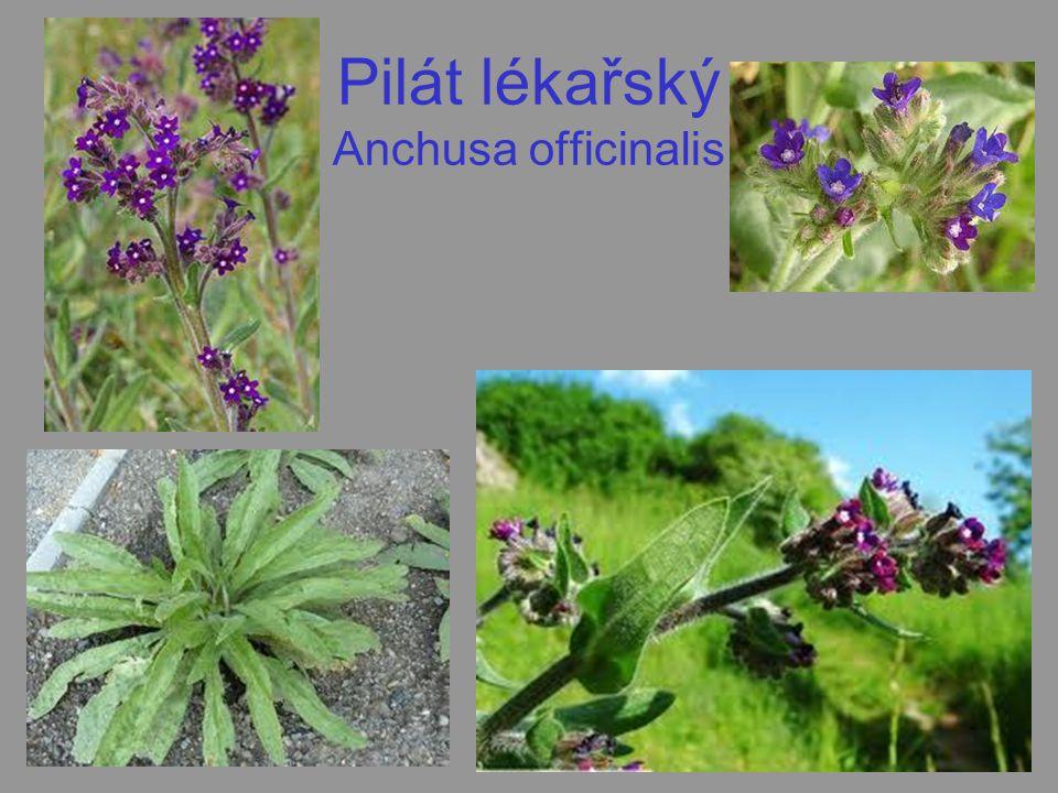 Pilát lékařský Anchusa officinalis