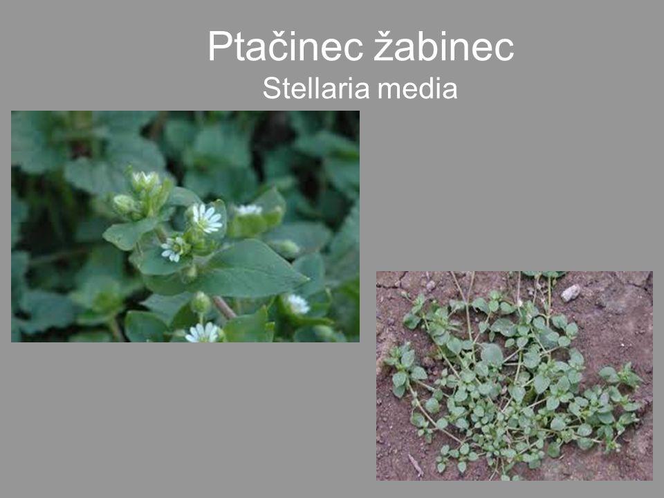 •Mladé listy - zjara na saláty a na špenát.Chutná jako ořechy.