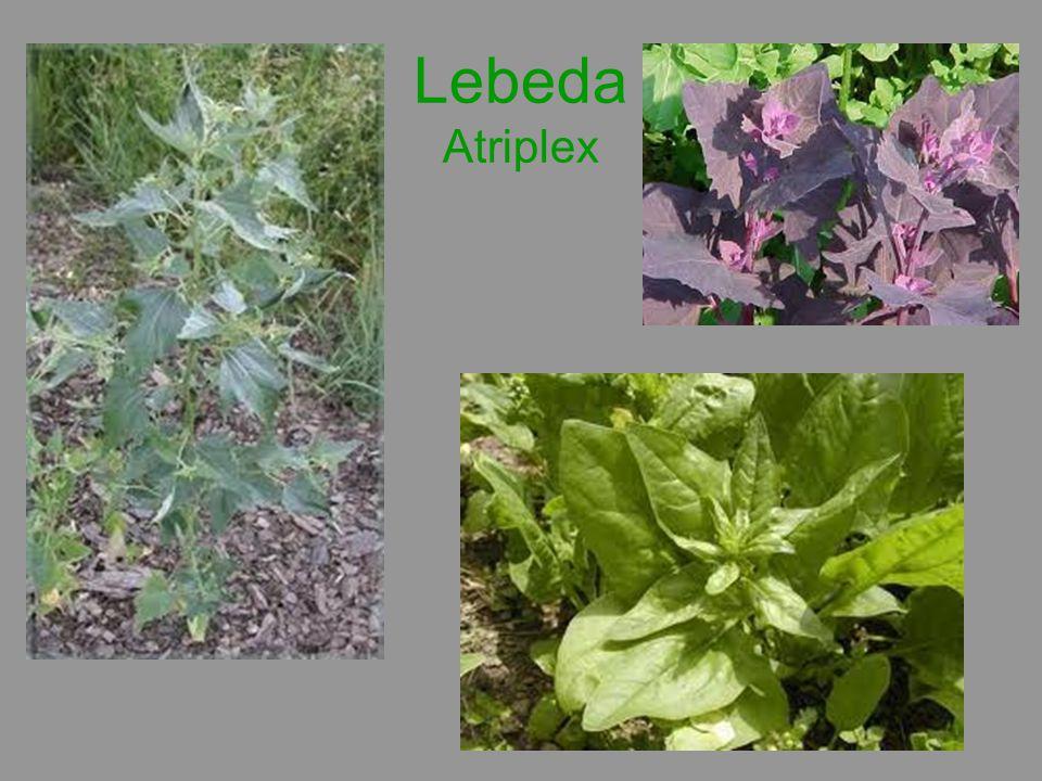 Lebeda Atriplex