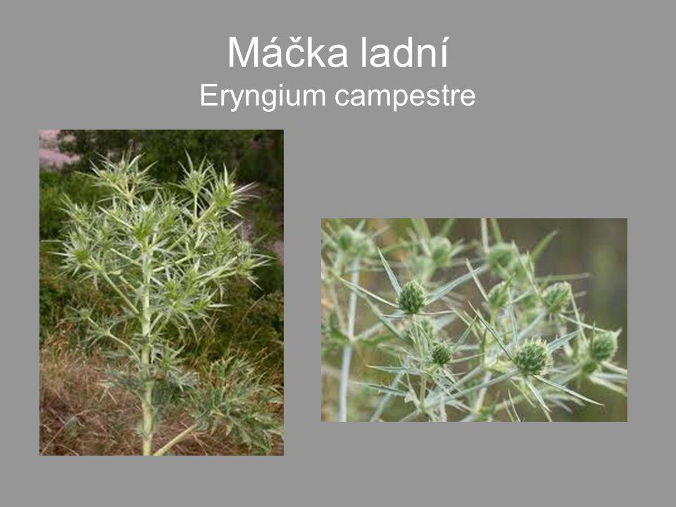 Máčka ladní Eryngium campestre