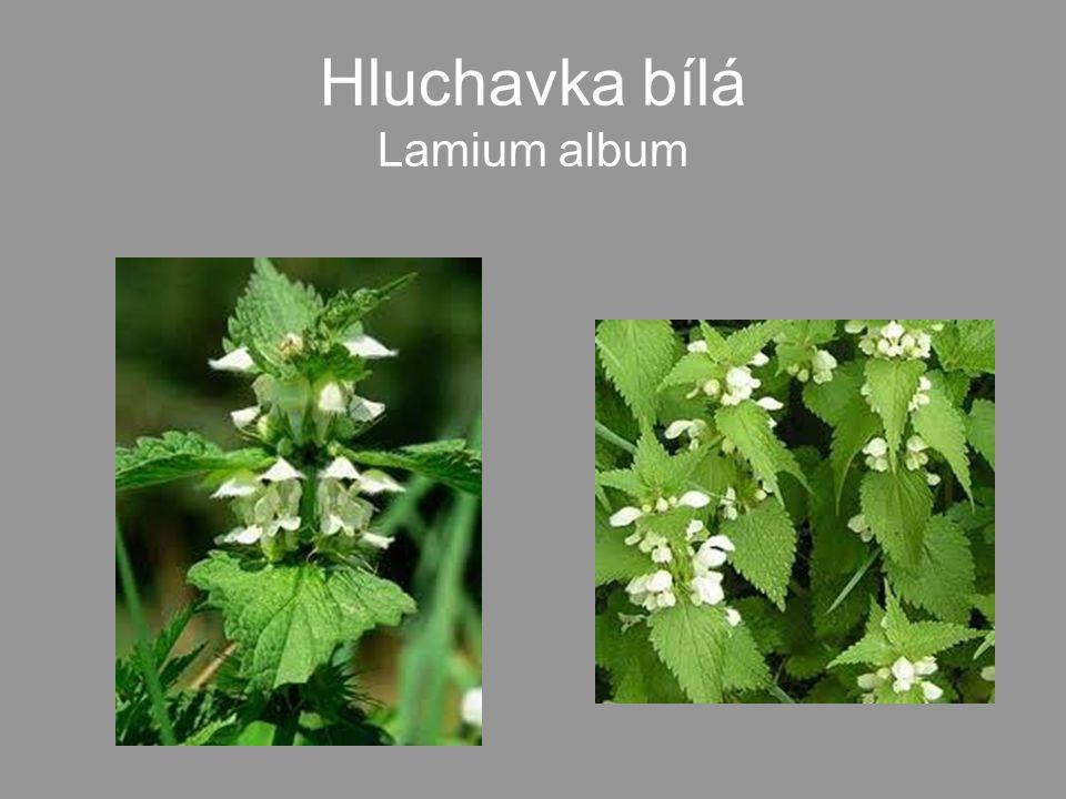 •Mladé listy a květy - od dubna do srpna jako zeleninu do salátů, špenátu a polévek.