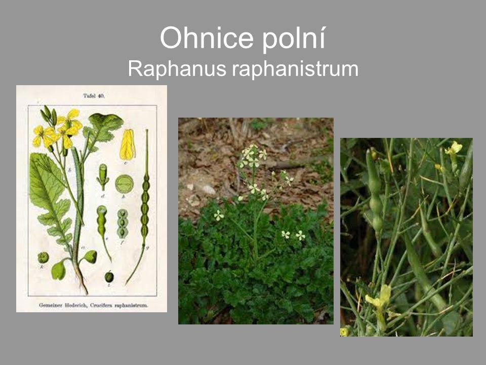 Ohnice polní Raphanus raphanistrum