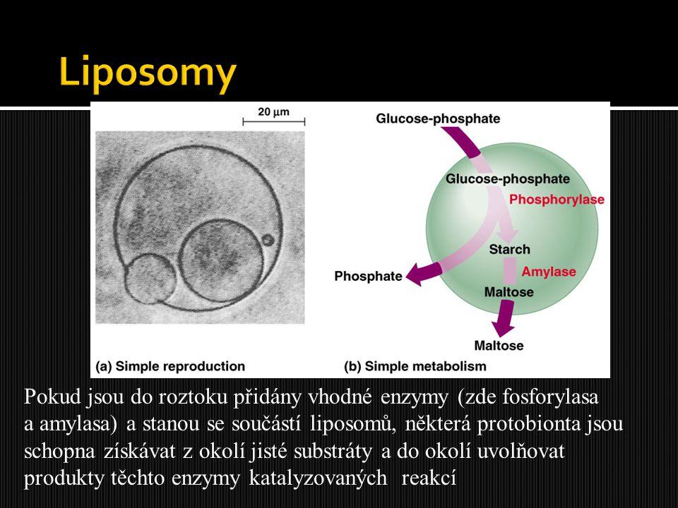 Pokud jsou do roztoku přidány vhodné enzymy (zde fosforylasa a amylasa) a stanou se součástí liposomů, některá protobionta jsou schopna získávat z oko