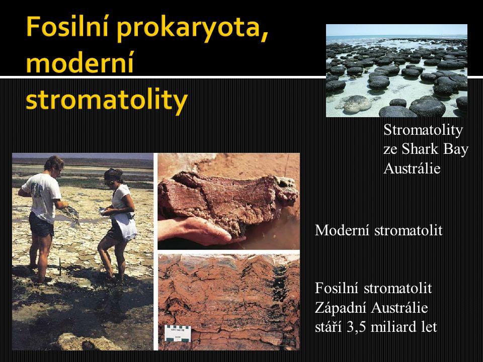 Moderní stromatolit Fosilní stromatolit Západní Austrálie stáří 3,5 miliard let Stromatolity ze Shark Bay Austrálie