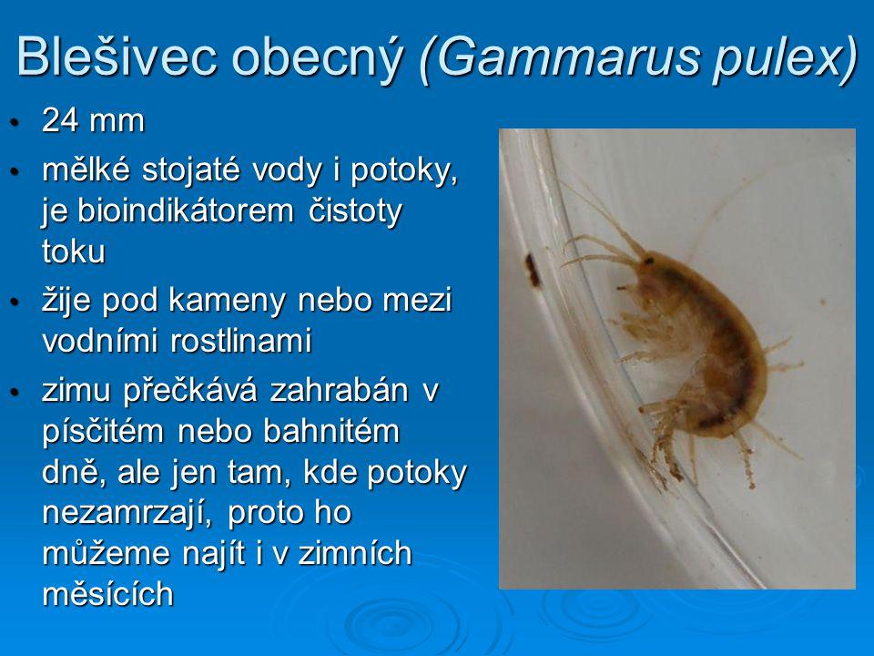 Blešivec obecný (Gammarus pulex) • 24 mm • mělké stojaté vody i potoky, je bioindikátorem čistoty toku • žije pod kameny nebo mezi vodními rostlinami