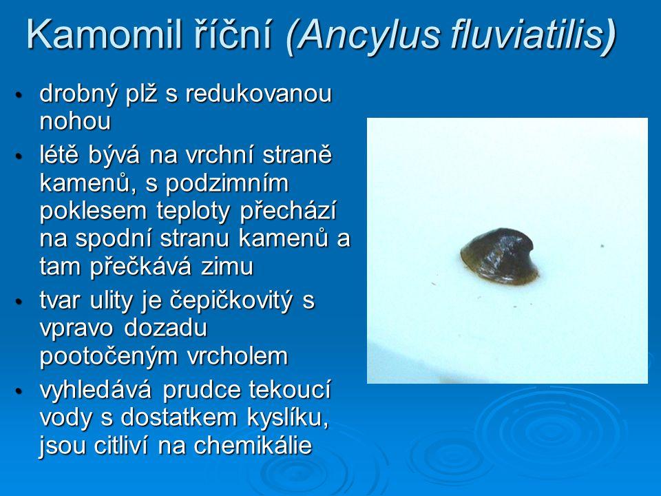 Kamomil říční (Ancylus fluviatilis) • drobný plž s redukovanou nohou • létě bývá na vrchní straně kamenů, s podzimním poklesem teploty přechází na spo